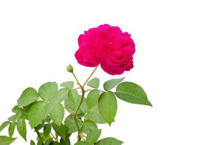 Damask rose isolated on white background 版權商用圖片