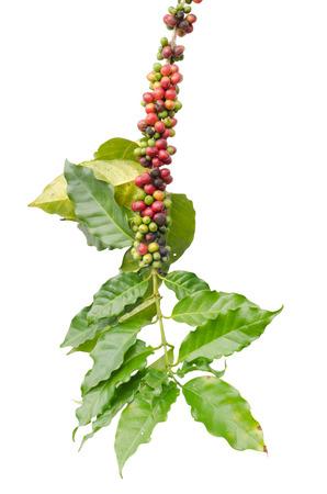 白い背景で隔離の木のコーヒー豆