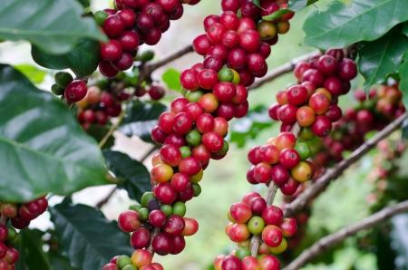 semilla de cafe: Los granos de café en los árboles