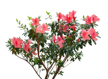 azalea blooming on tree isolated on white background