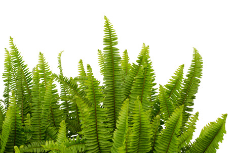 Tuber Sword Fern, Sword Fern  Scientific name  Nephrolepsis biserrata cr Furcan  Stock Photo