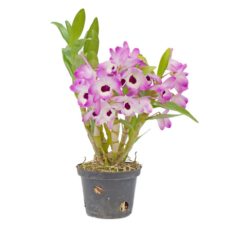 dendrobium: Nobile orchid isolated on white background