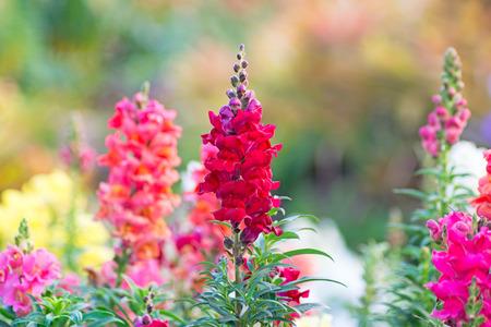 antirrhinum majus: Snap dragon  Antirrhinum majus  blooming in garden