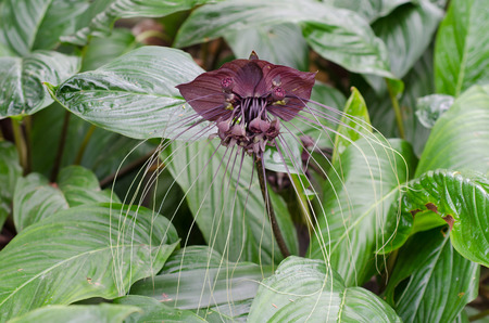 Black bat flower or Tacca chantrieri grow wild in the tropical forest, Thailand
