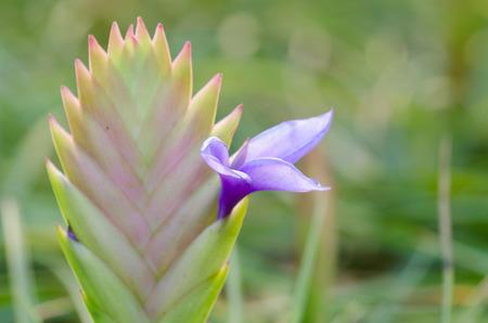 tillandsia: Bromeliad  (Tillandsia) Stock Photo