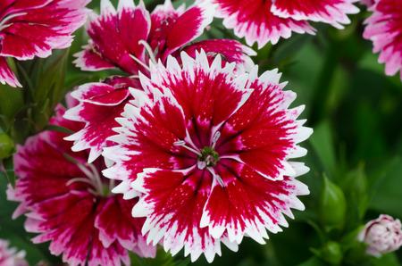 Dianthus chinensis  China Pink  photo