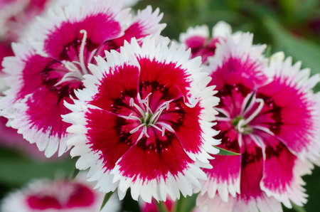 dianthus: Dianthus chinensis  China Pink  Stock Photo