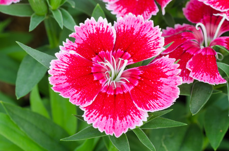 Dianthus chinensis (China Pink) photo