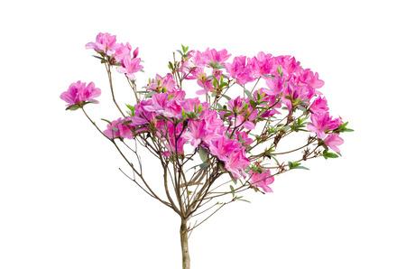 pink azalea blooming on tree isolated on white  版權商用圖片