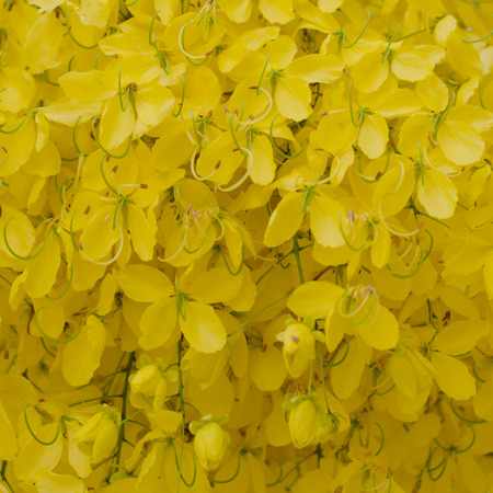 Cassia fistula flower   photo