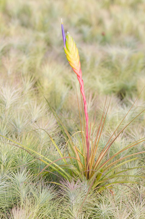 tillandsia: Bromeliad  (Tillandsia) Stock Photo