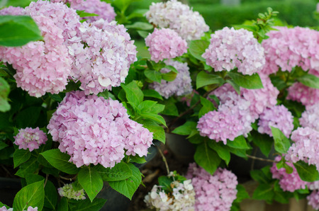 hydrangea flowers  blooming in garden photo