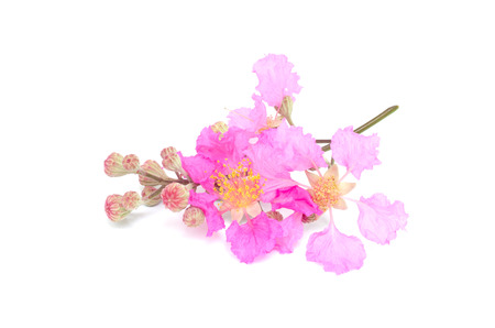 Lagerstroemia macrocarpa isolated on white background photo