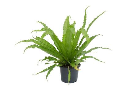 Asplenium nidus fern isolated on white background photo