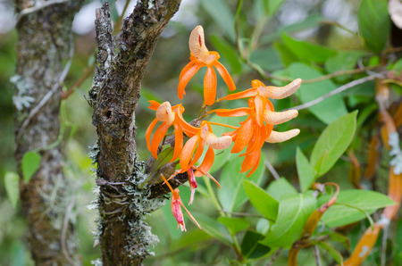 dendrobium unicum wild orchid in Thailand photo