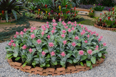 Bromeliad (Aechmea fasciata) photo