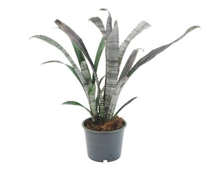 bromeliad: bromeliad isolated on white background