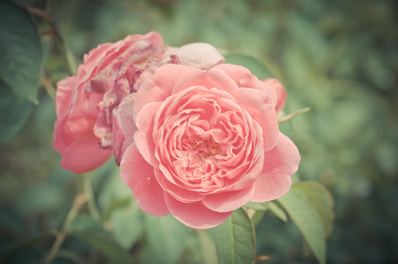 Damask rose, vintage flower 版權商用圖片 - 30422120