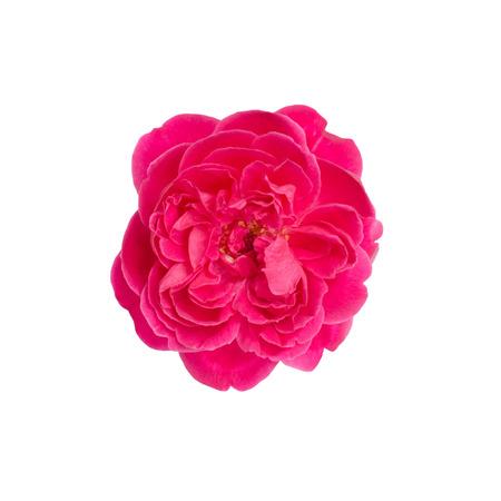 rosas rosadas: Damasco rosa aislados en fondo blanco