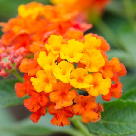 lantana: Lantana flowers