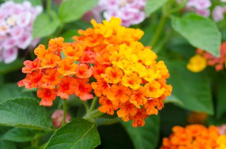 noxious: Lantana flowers