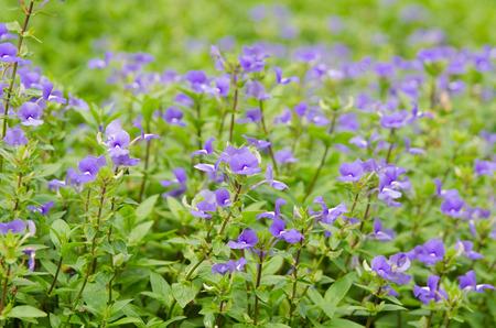 arose: Blue Hawaii flower (Brazilian Snapdraon)