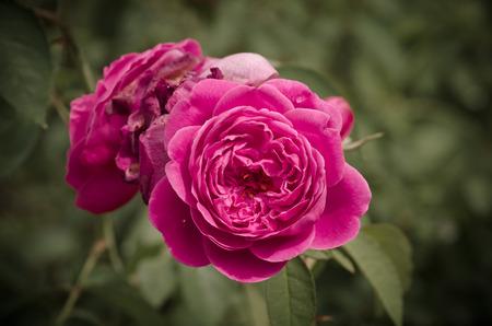 Damask rose, vintage flower