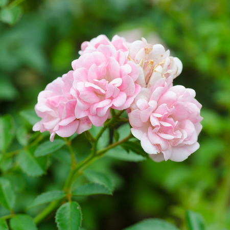chinensis: Beautiful of pink fairy rose with green background Stock Photo