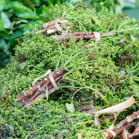 quinine: Freshwater algae (Spirogyra neglecta)