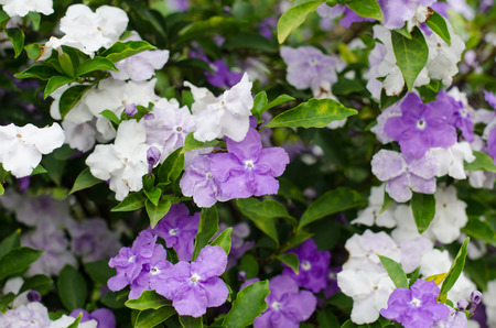 morning noon and night: Brunfelsia Australis (Yesterday today and tomorrow flower)