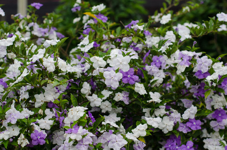 morning noon and night: Brunfelsia Australis (Ayer Hoy y ma�ana de flores)