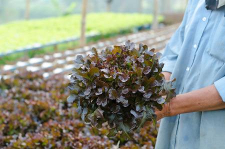 hydroponics: hydroponics vegetable in hand