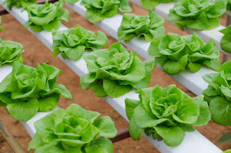 hydroponics: hydroponics vegetable in farm Stock Photo