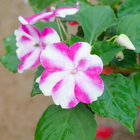 impatiens: flor impatiens