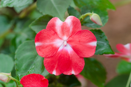impatiens: impatiens flower Stock Photo