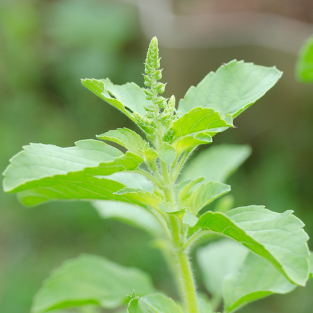 tulsi: macro of red holy basil Stock Photo
