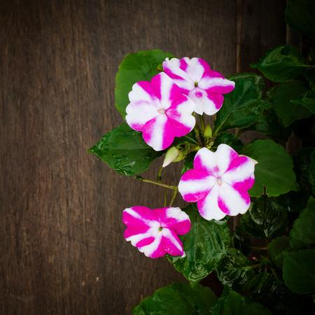 impatiens: impatiens flower on wooden background