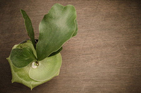 Staghorn fern on wooden background Stock Photo