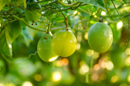 passion fruit growing on the vine Stockfoto