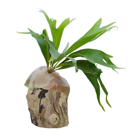 staghorn fern: Staghorn fern on stump isolated on white background Stock Photo