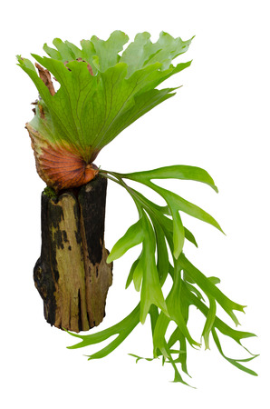 fertile frond: Staghorn fern on stump isolated on white background Stock Photo