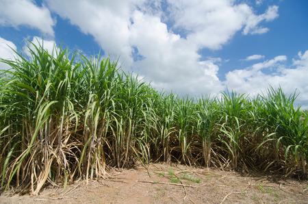 Sugarcane field photo