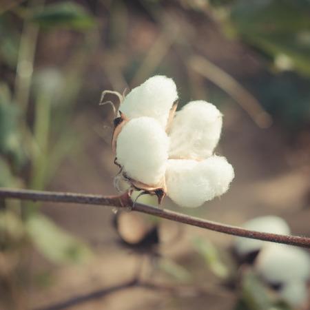 planta de algodon: Planta de algod�n, algod�n de la vendimia Foto de archivo