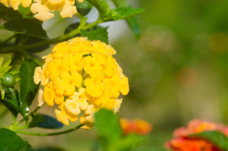 lantana: lantana camara flowers Stock Photo
