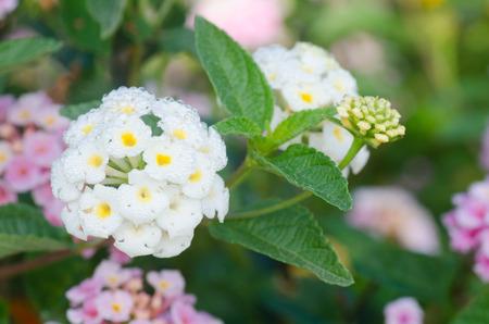lantana camara: lantana camara flowers Stock Photo