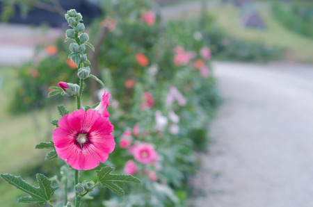 hollyhock: hollyhock flower