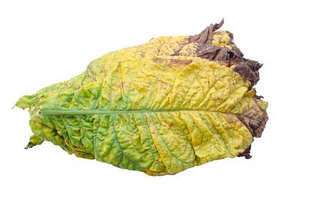 tobacco leaf: tobacco leaf isolated on white background