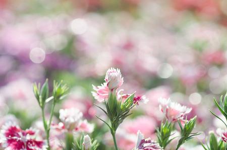 chinensis: Dianthus chinensis (China Pink)