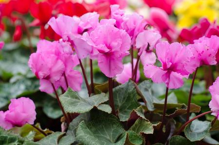sowbread: Cyclamen hederifolium