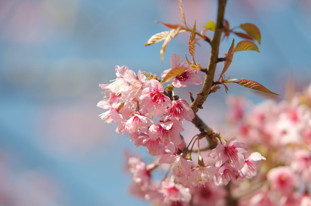 prunus: Wild Himalayan Cherry, Prunus cerasoides